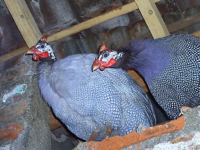 Pelihara+ayam+mutiara.JPG