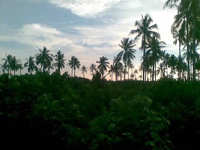 Kebun Tanjung Samak.jpg